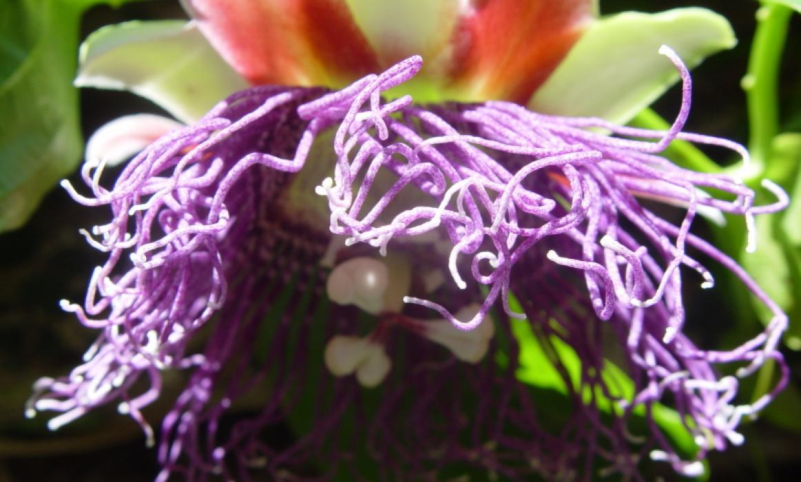 passion-vine-flower-big
